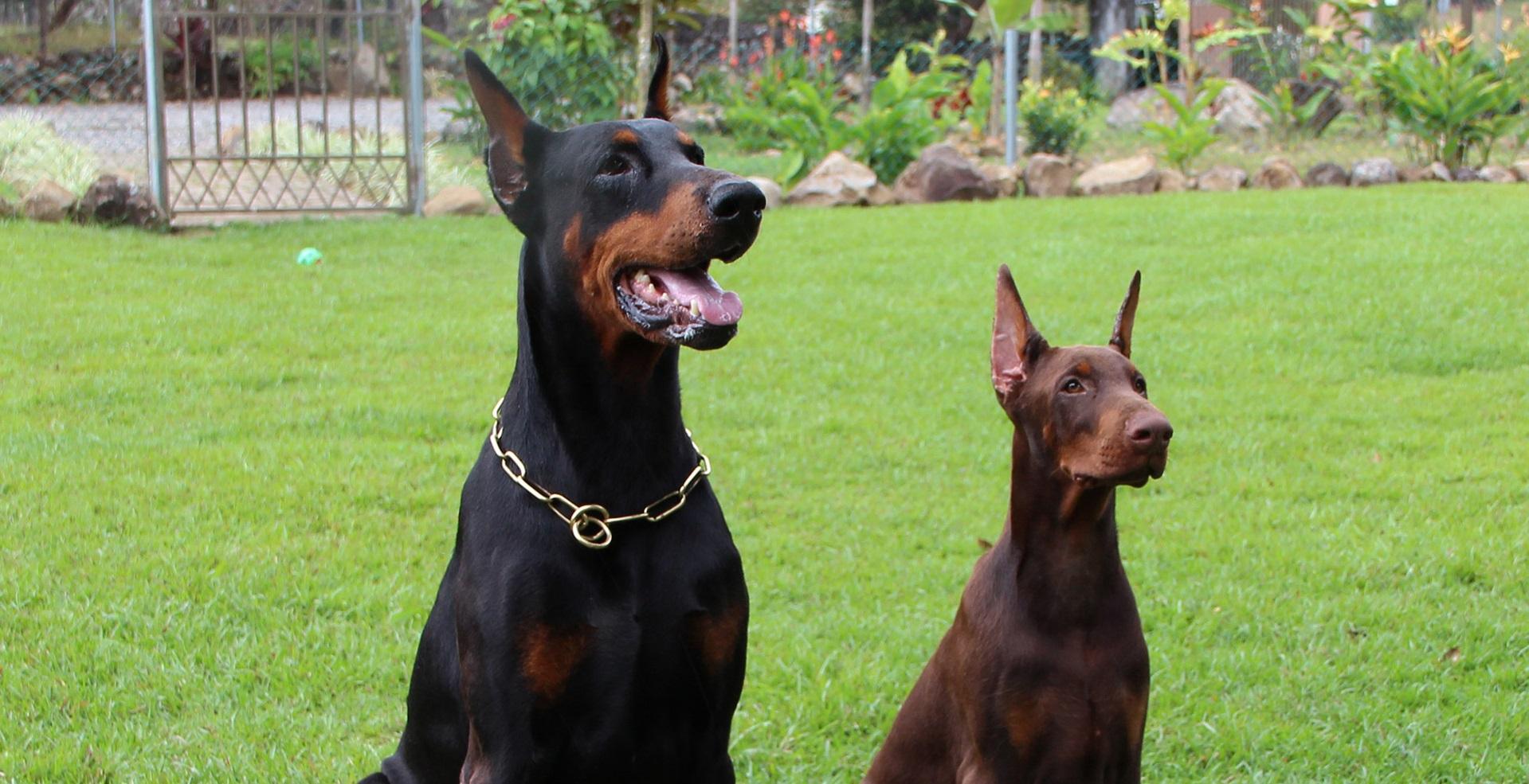 Cirurgia estética em cães: A proibição é a solução?