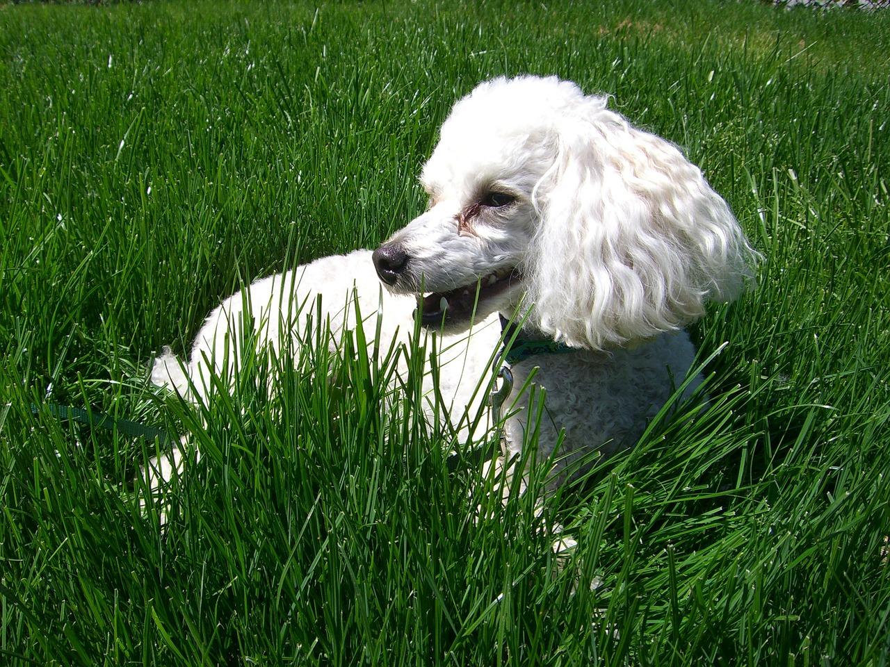 Lipoma Canino: Sintomas e Tratamento