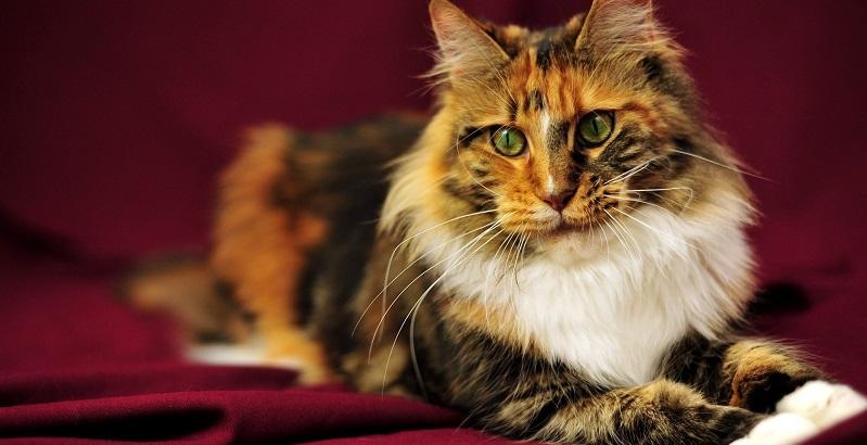 As 19 raças de gato mais bonitas do mundo