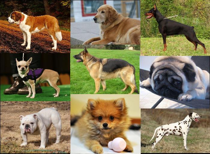 Doenças mais comuns de cada raça de cachorro
