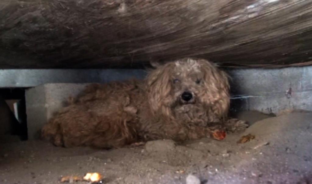 Conheça o cãozinho que morou um ano sozinho após a morte do dono