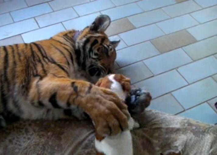Tigre e cãozinho são melhores amigos