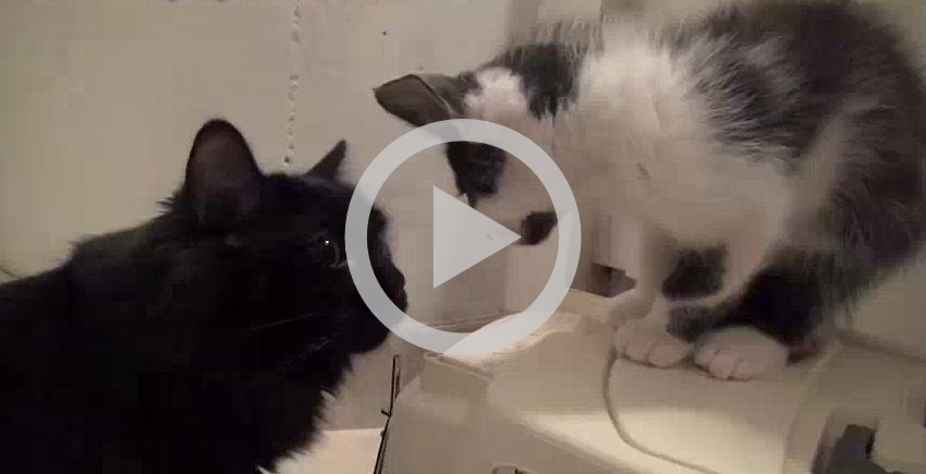 Como apresentar dois gatos um ao outro em 12 passos
