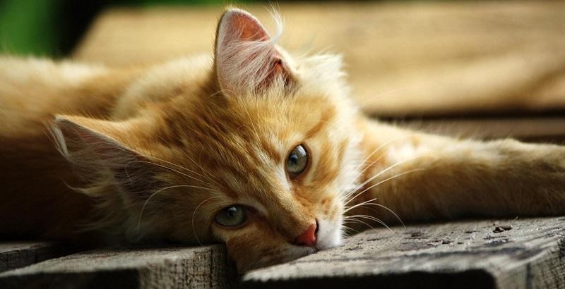 6 Remédios Tóxicos para Gatos