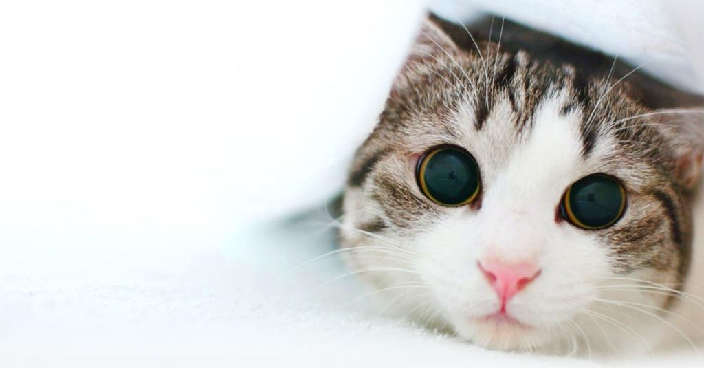 Anticoncepcionais para gatas – PERIGO