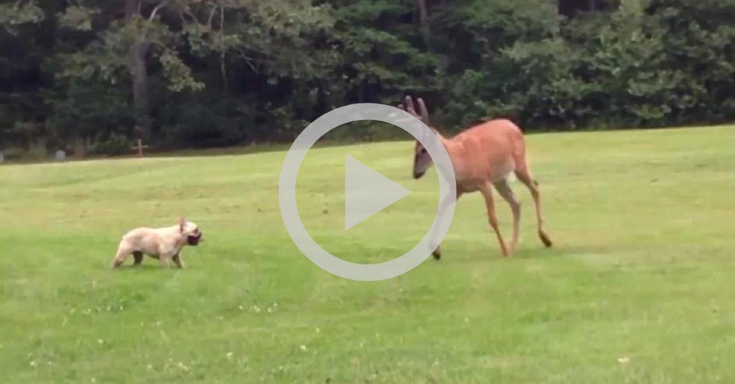Vídeo grava Bulldog Francês fazendo amizade com animal selvagem
