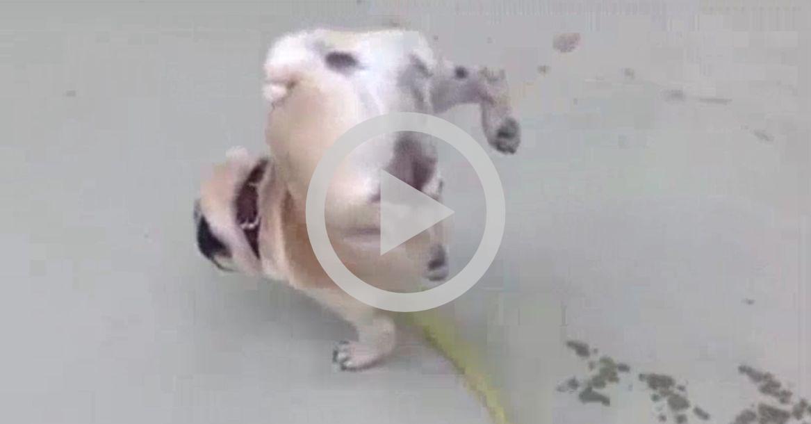 Pug fica 1 minuto fazendo xixi enquanto planta bananeira