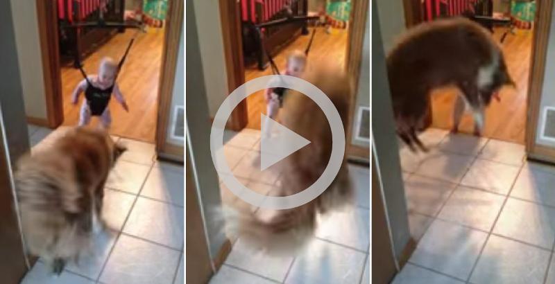 Cão tenta ensinar bebê a saltar e ele cai na gargalhada
