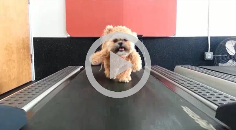 Cãozinho vestido de ursinho na esteira faz sucesso na internet