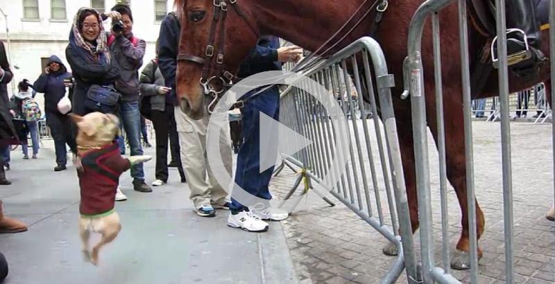 Buldogue Francês se diverte com cavalo da polícia