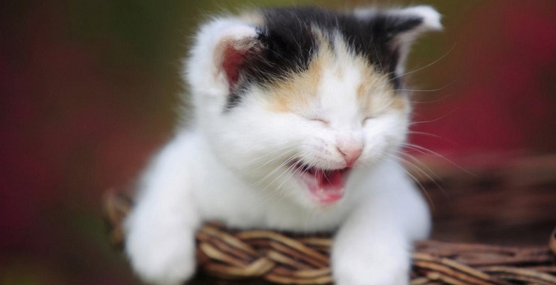 Gato tossindo – Leve seu gato imediatamente ao veterinário