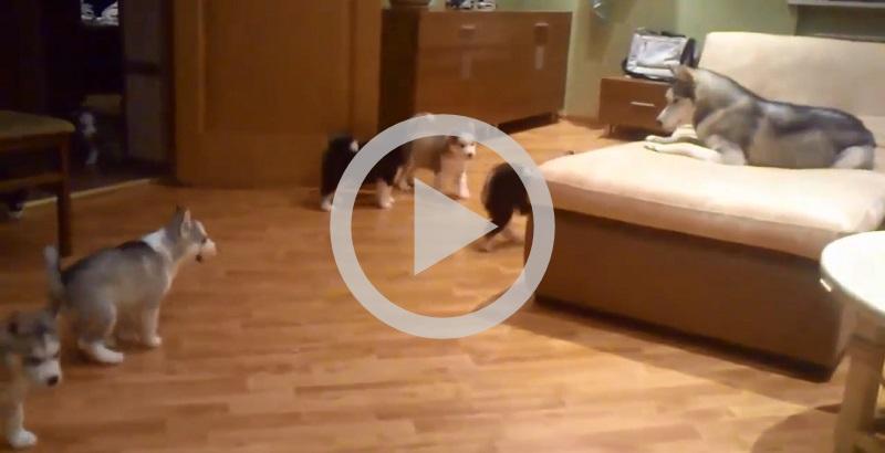Mamãe Husky ensinando seus filhotes a brincar faz sucesso na internet
