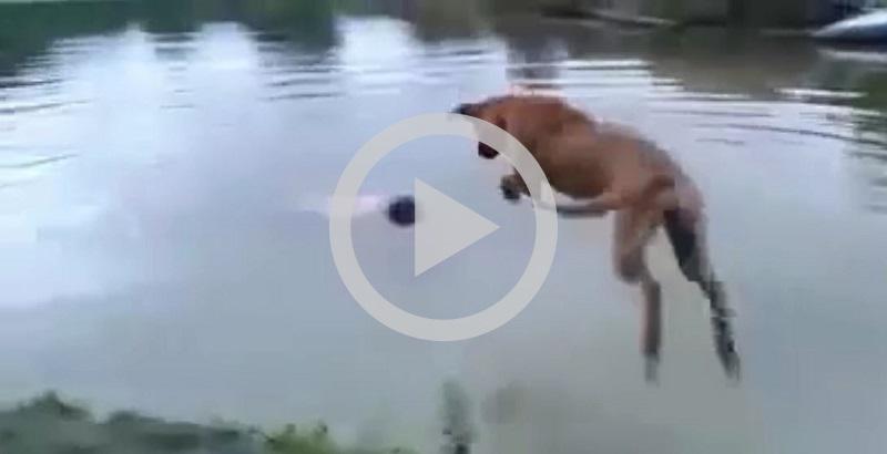 Cachorro herói: cão pula na água para salvar seu dono