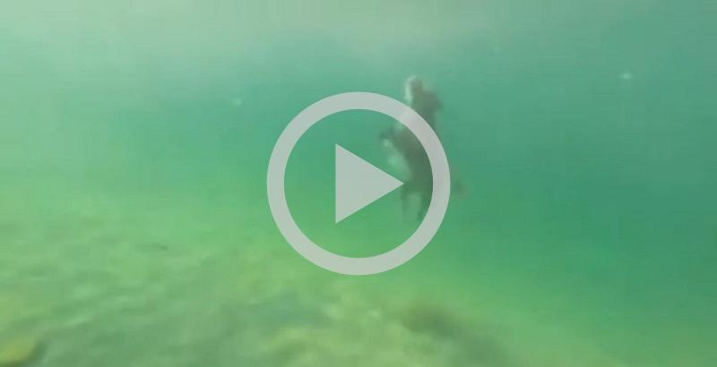 Cachorro mergulhando atinge mais de três metros de profundidade (inacreditável)