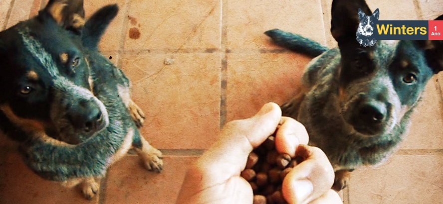Ensinando seu cachorro esperar para comer