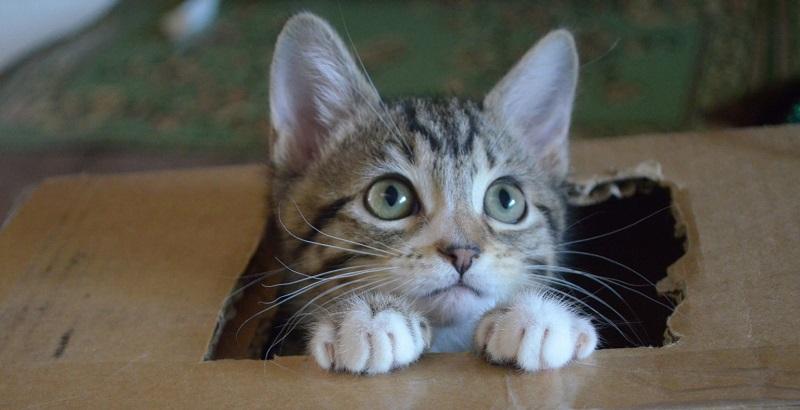 Gato vira-lata – Conheça suas belezas