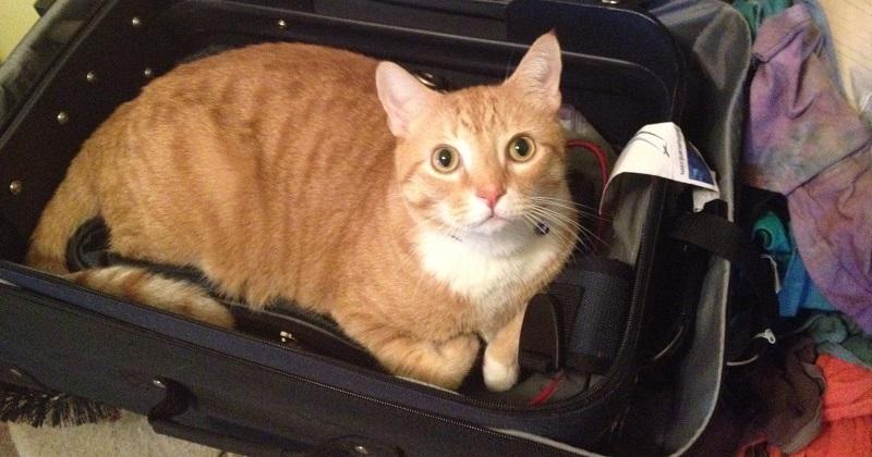 Quero viajar com meu gato! Posso?