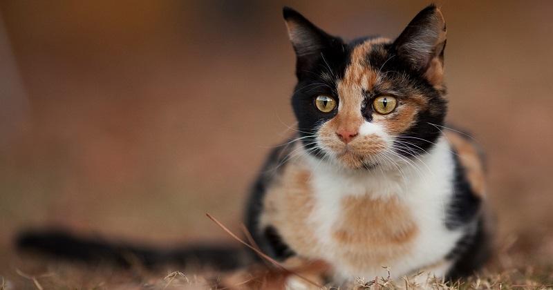 Gatos tricolores e escaminhas são mesmo sempre fêmeas?