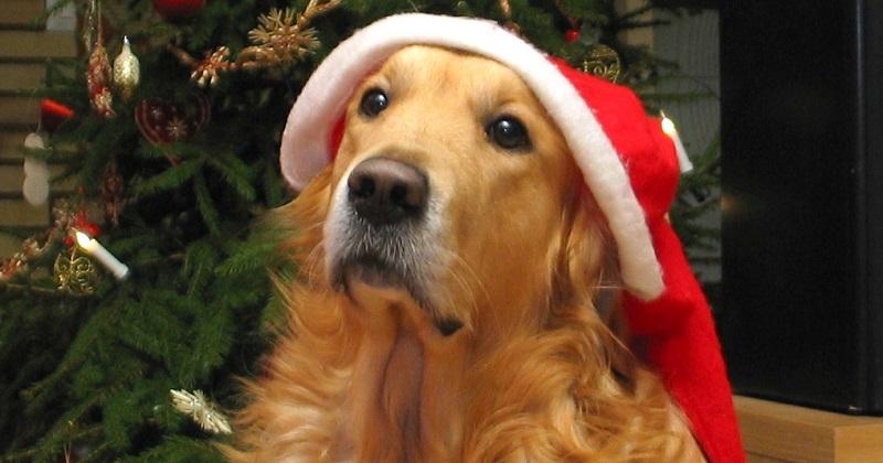 Comidas natalinas: O que seu cachorro pode comer e o que não pode