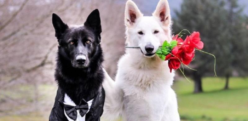 Tem sonho de casar? Esses cachorros já encontraram seu par