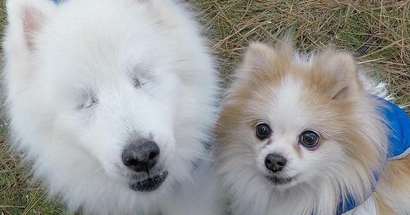 Cachorro perde a visão e supera tudo com seu cão-guia