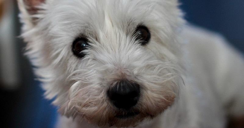 5 melhores raças de cachorro para pessoas preguiçosas