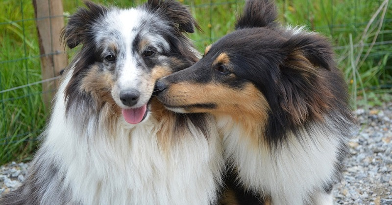 Cães se apaixonam por outros cães?