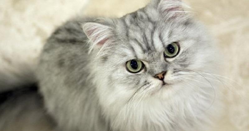 5 fatos que você precisa saber sobre gato persa