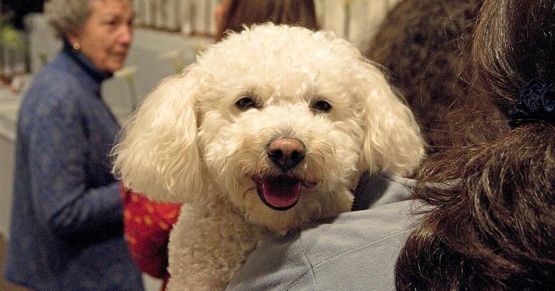 11 Melhores Raças de Cachorro para Pessoas Mais Velhas