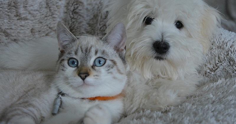 10 raças de gatos para amantes de cachorro
