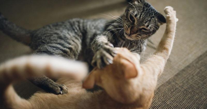 A melhor dica para acabar com briga entre gatos