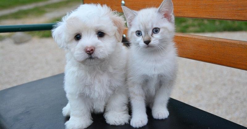 Será que meu cachorro ou gato podem contrair Febre Amarela?