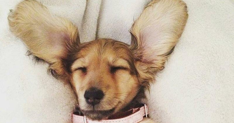 12 cachorros muito orelhudos