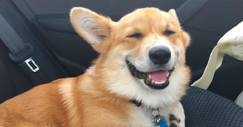 10 provas que o Corgi é o cachorro mais feliz