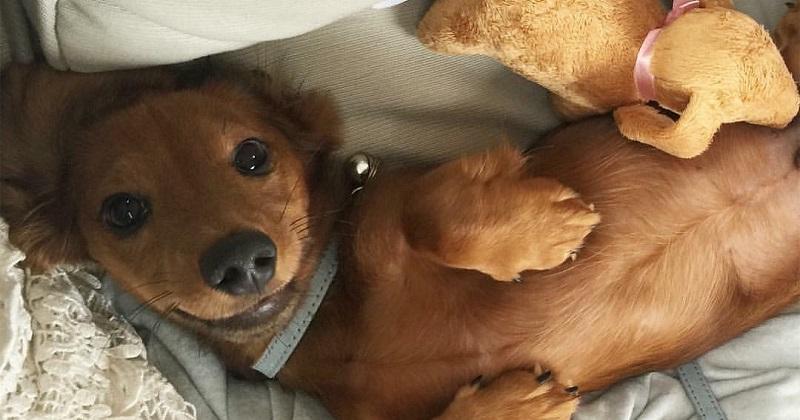 10 dicas do que fazer quando se tem um Dachshund muito fofo
