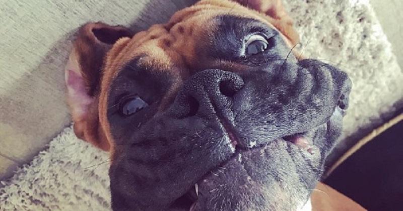 10 motivos para amar um Boxer