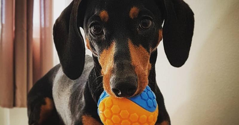 O que você precisa saber sobre brinquedos para cachorro