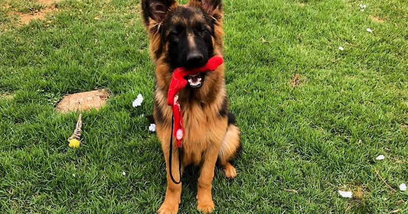 Saiba o que fazer quando seu cachorro destrói brinquedos