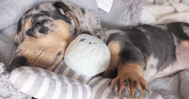 9 imagens de um Salsichinha muito dorminhoco