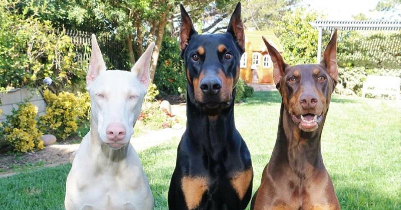 O trio mais lindo de Doberman