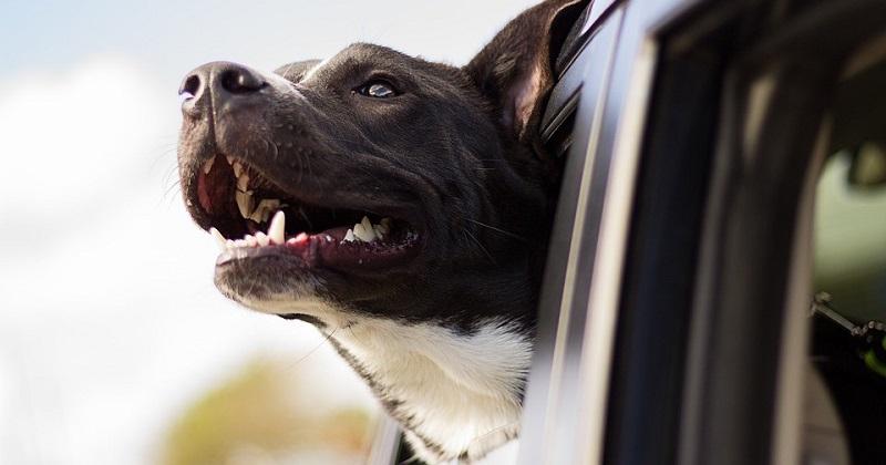 Como Garantir a Segurança do Cachorro no Carro