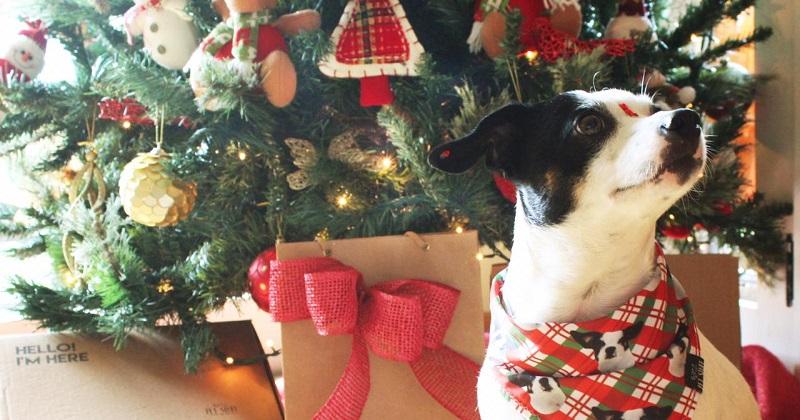 Decoração de Natal com Pet em casa!