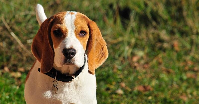 15 Fotos do Por Que se Ter um Beagle