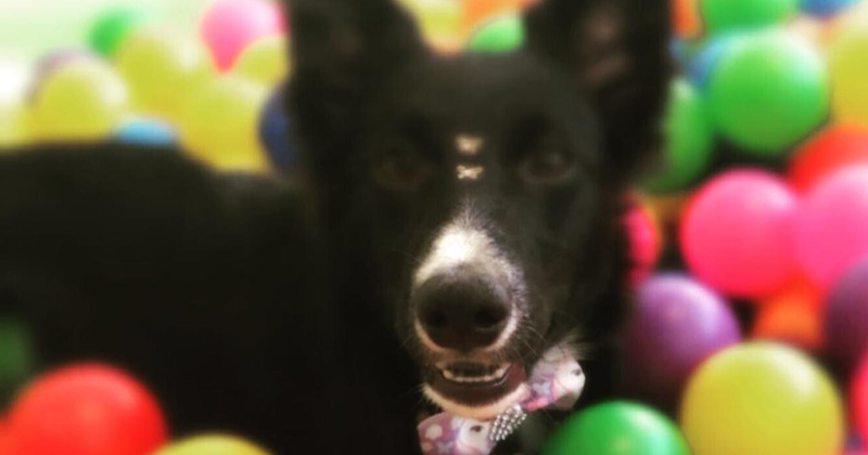 Protocolo de Atenção  e Cuidados com Cães de Terapia.