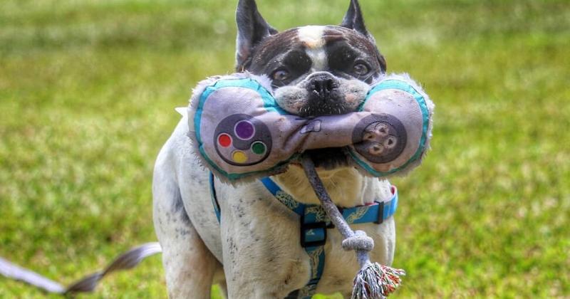 Ideias de Enriquecimento Ambiental para Cães: 5 Opções Práticas para Você e Seu Pet