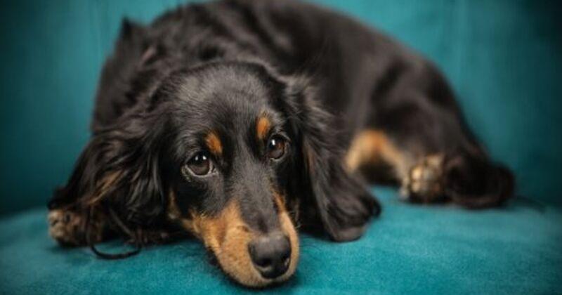 Saiba Tudo Sobre a Leishmaniose Canina