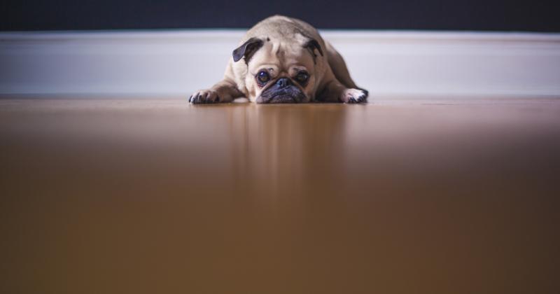 Cães TambémTem Hidrocefalia. Você sabia?