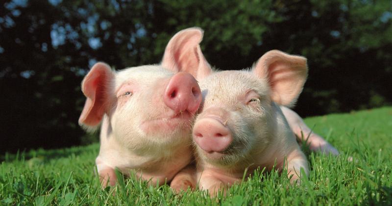 Porcos São um dos Animais Mais Inteligentes