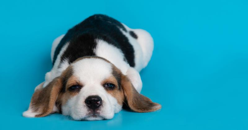 Dirofilariose Canina: Conheça Sobre o Temido Verme do Coração