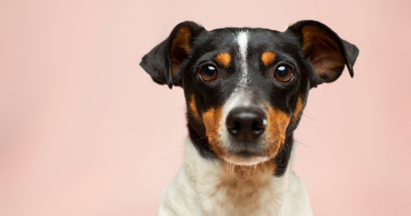Como Saber Se o Seu Cachorro É Dominante ou Submisso